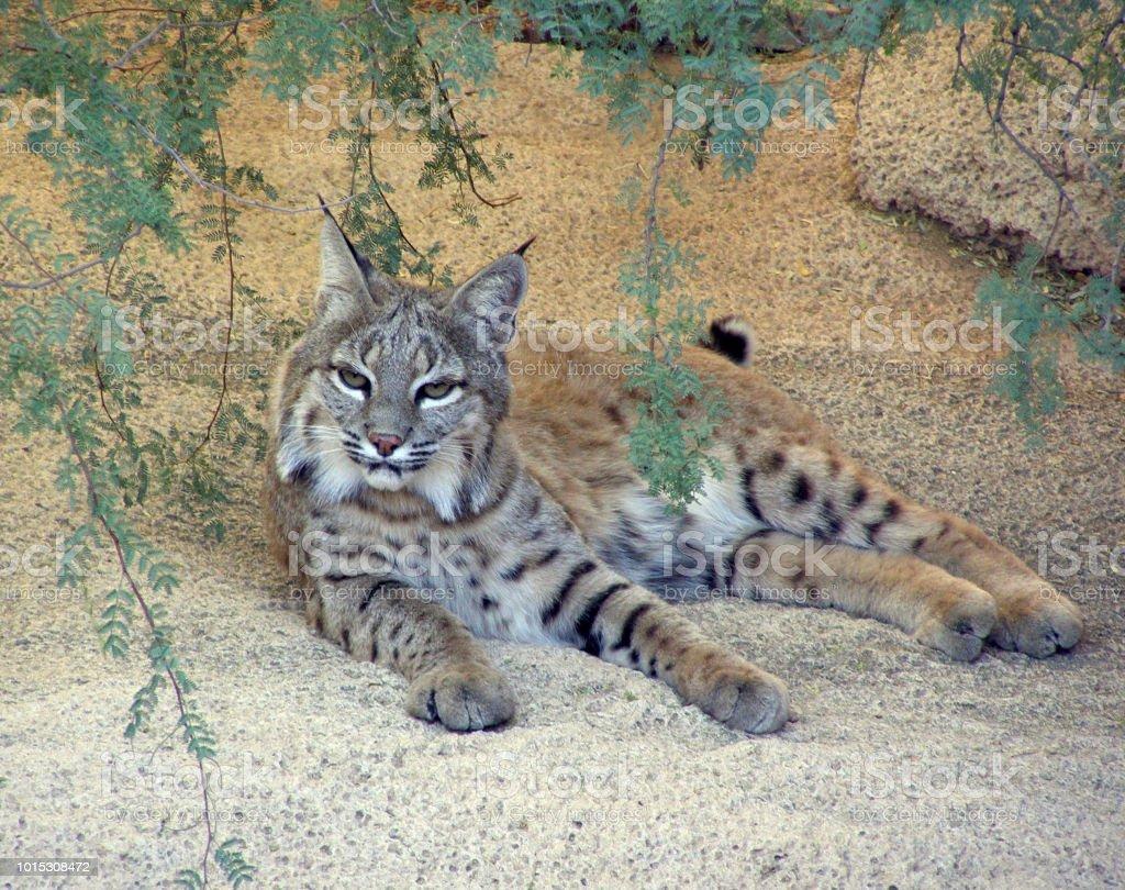 Bobcat in Sonoran Desert West of Tucson, Arizona stock photo