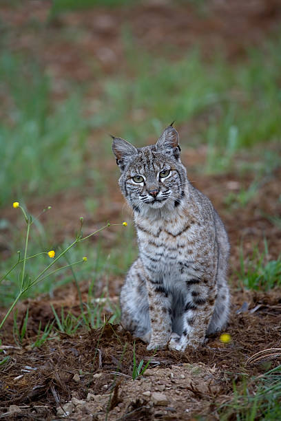 Bobcat im Frühling – Foto
