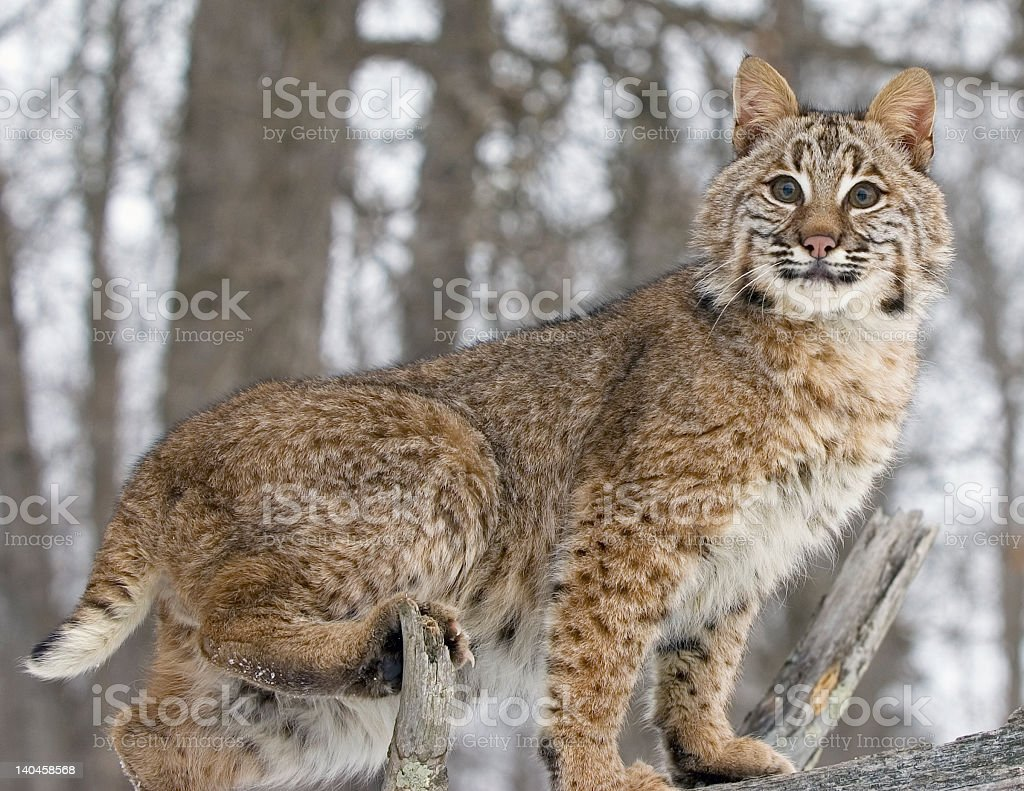 A bobcat in the wild stood on a branch stock photo