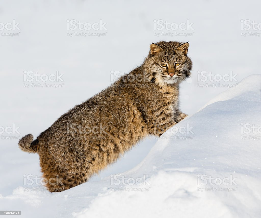 Bobcat in Winter stock photo