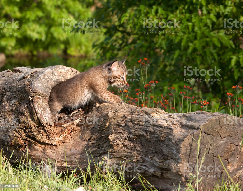 Bobcat Kitten coming out of a hole in a log stock photo