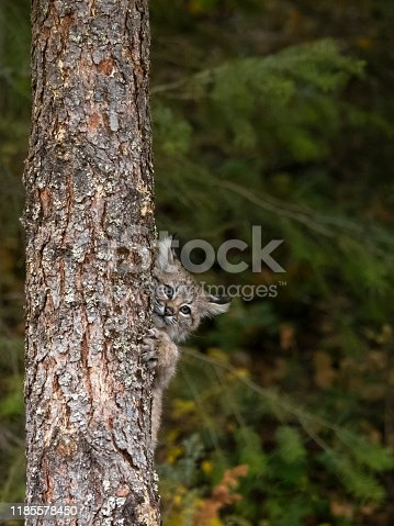 A captive bobcat kitten (Lynx Rufus) playing on a tree trunk. This in the autumn. A game farm in Montana, with animals in natural settings.