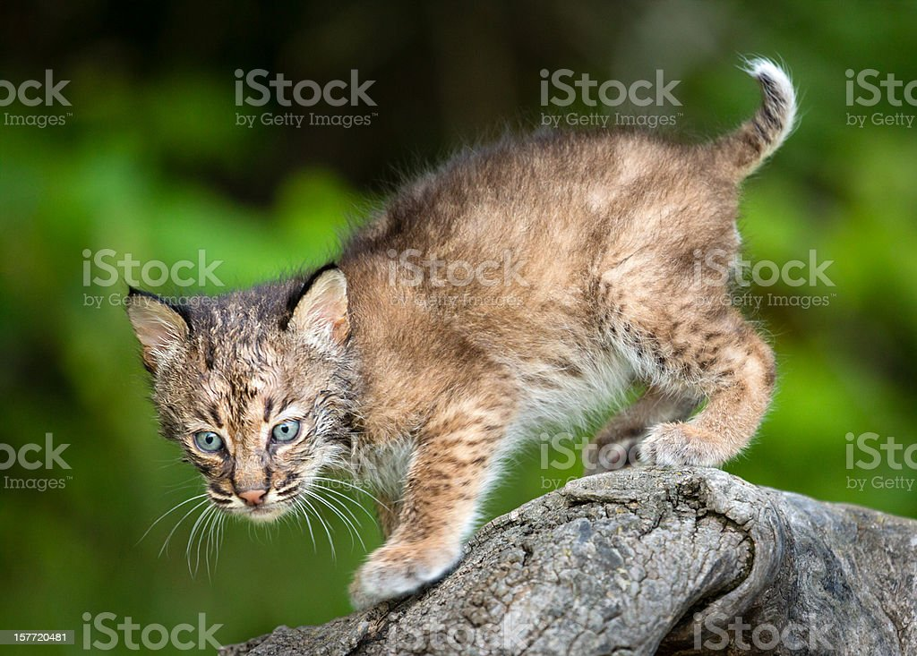 Bobcat Kitten stock photo