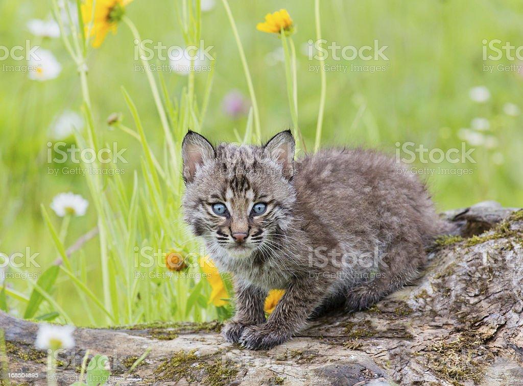 Bobcat Kitten stock photo