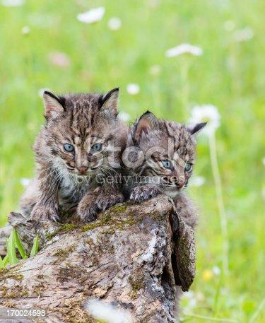 Juvenile Bobcats