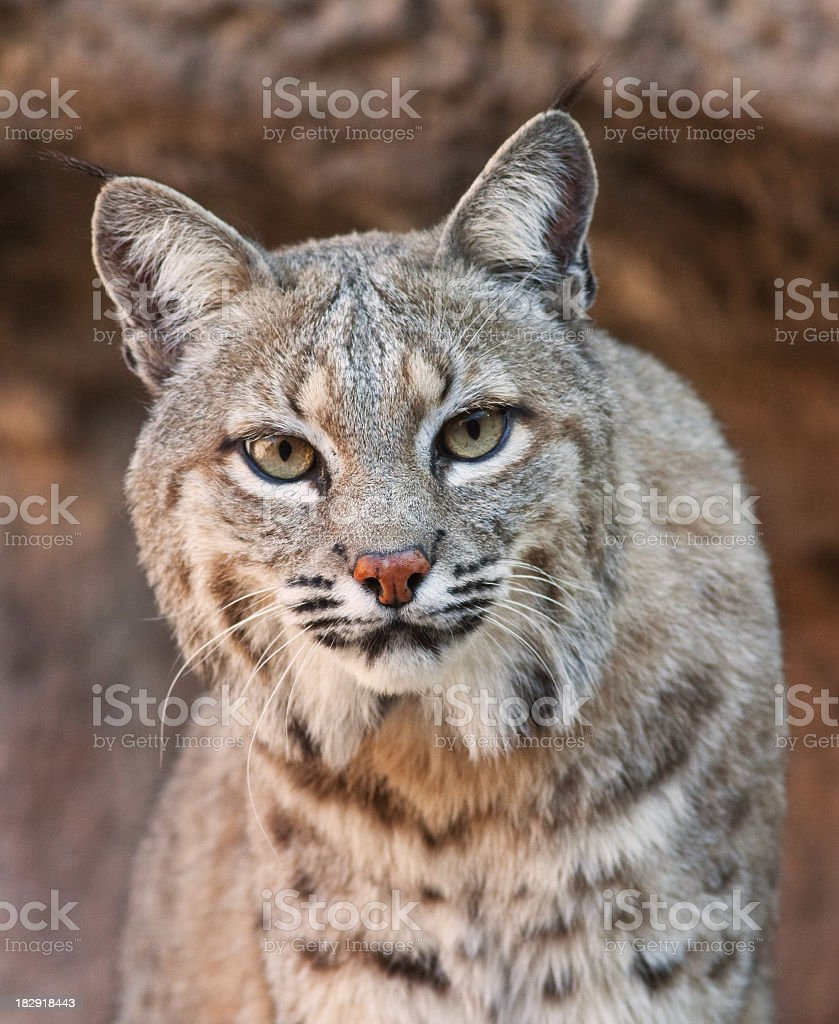 Bobcat looking fiercely at the camera stock photo