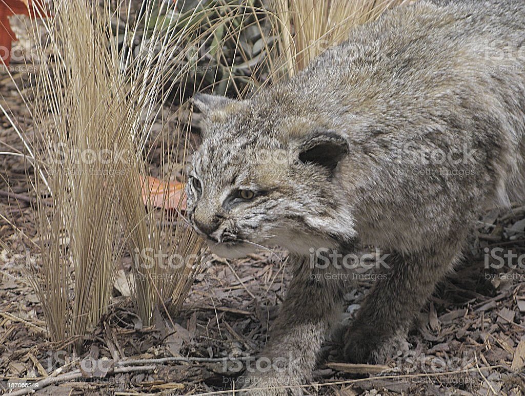 Bobcat Lyncx Rufus Predator royalty-free stock photo