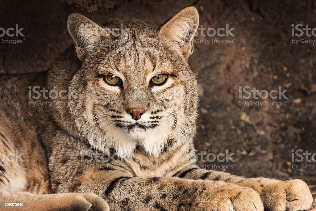 Bobcat Lynx rufus Predator Cat stock photo