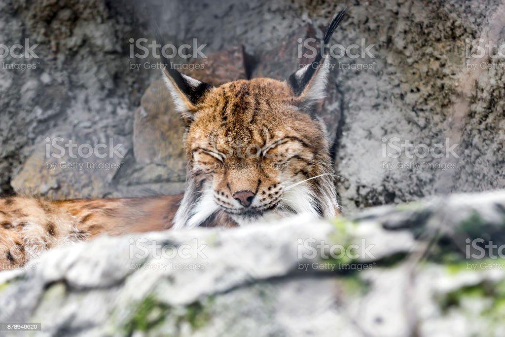 Bobcat ,Lynx rufus, sitting on gray rocks stock photo