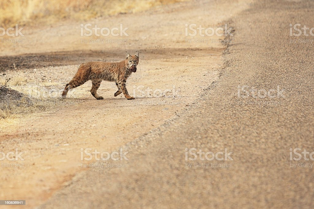 Bobcat Lynx rufus Wild Feline Predator stock photo