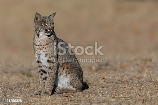 This young male bobcat intently observes his surroundings for potential threats or possible prey on a fall day in northern California.
