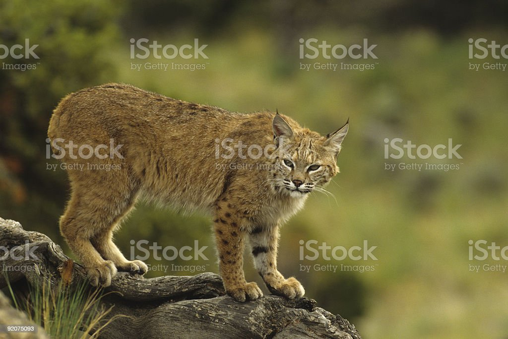 Bobcat on Log stock photo