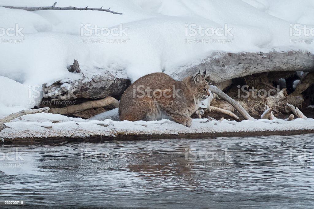 Bobcat on the lookout for a meal. royalty-free stock photo