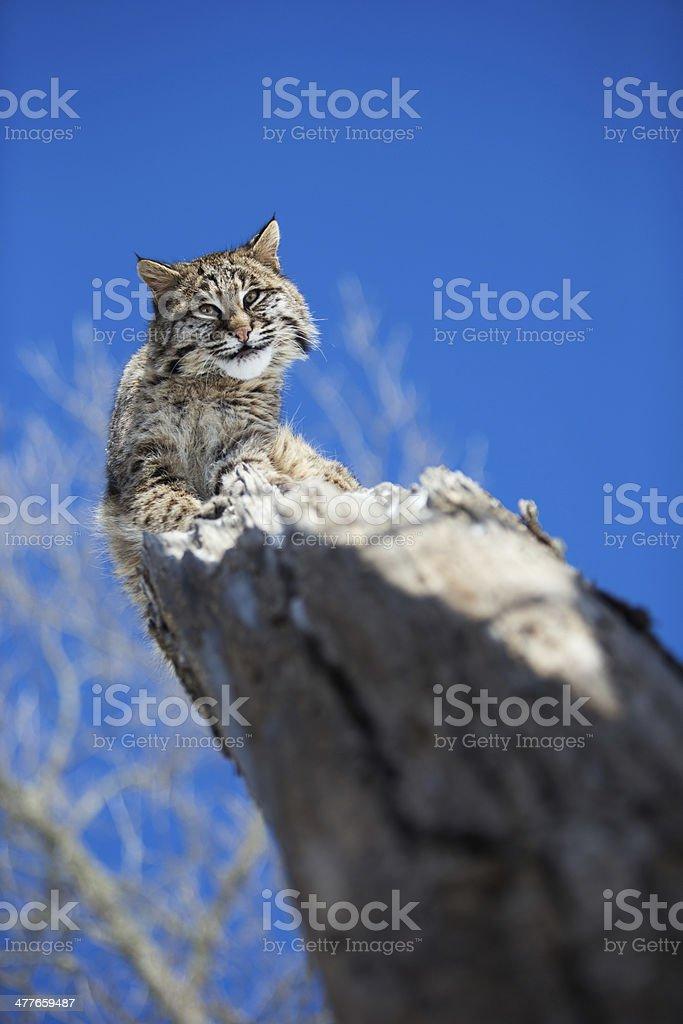 Bobcat peering down at prey. royalty-free stock photo