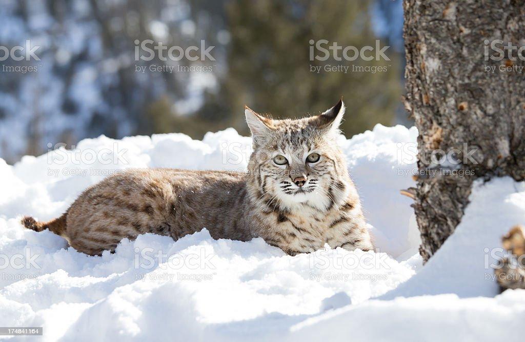Bobcat royalty-free stock photo