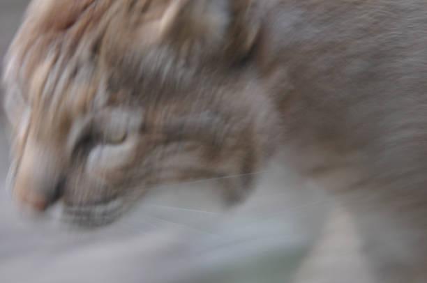 bobcat - wilde hilde stock-fotos und bilder