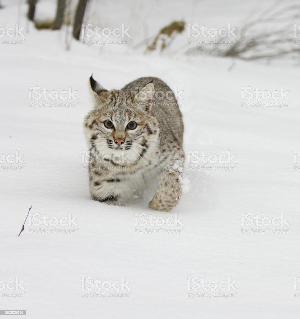 Bobcat Lizenzfreies stock-foto