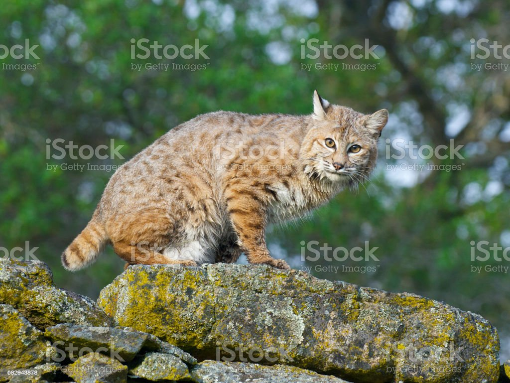 Bobcat stock photo