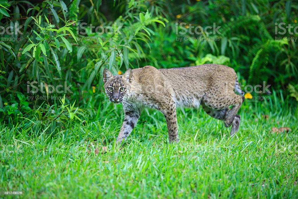 Bobcat Prowling stock photo