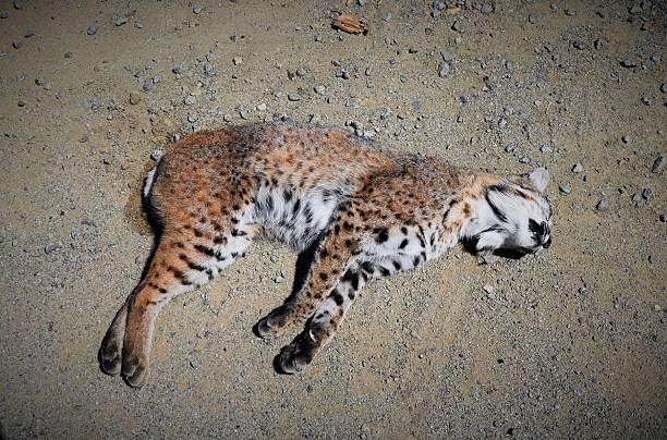 Bobcat Roadkill stock photo