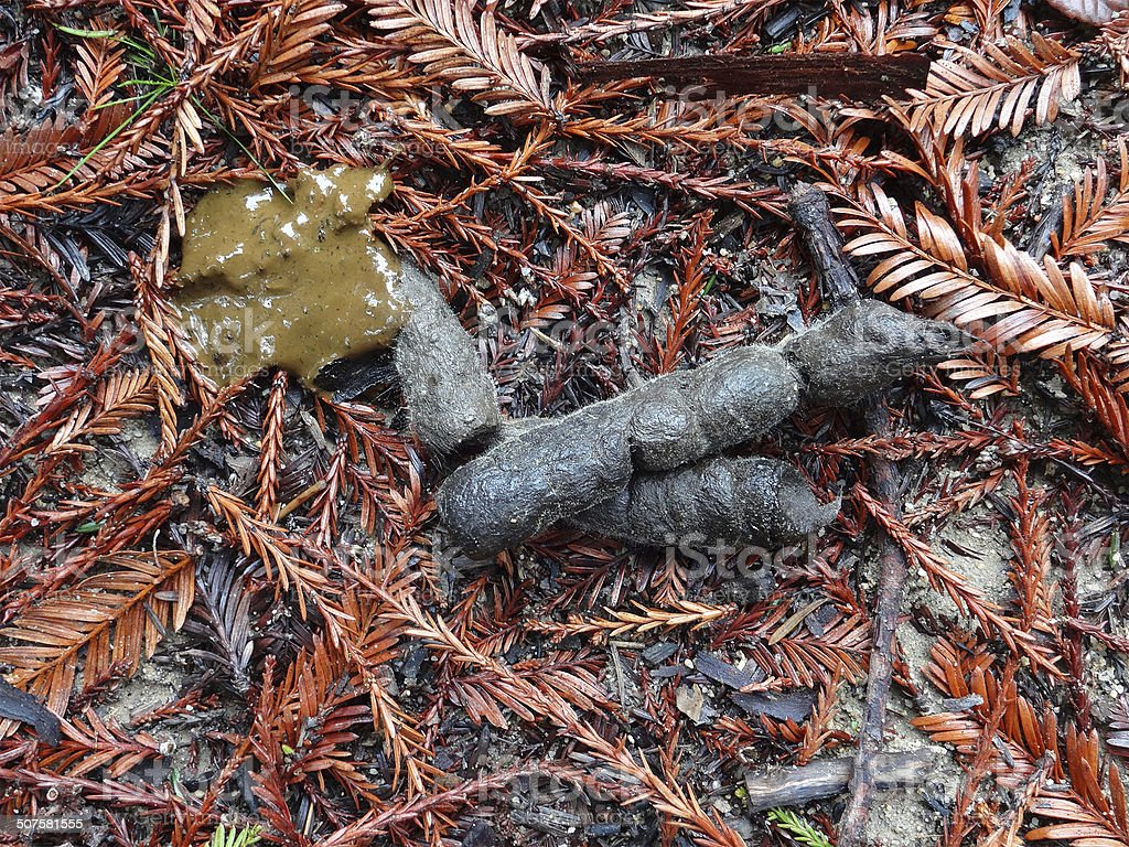 Bobcat Scat In Redwoods stock photo