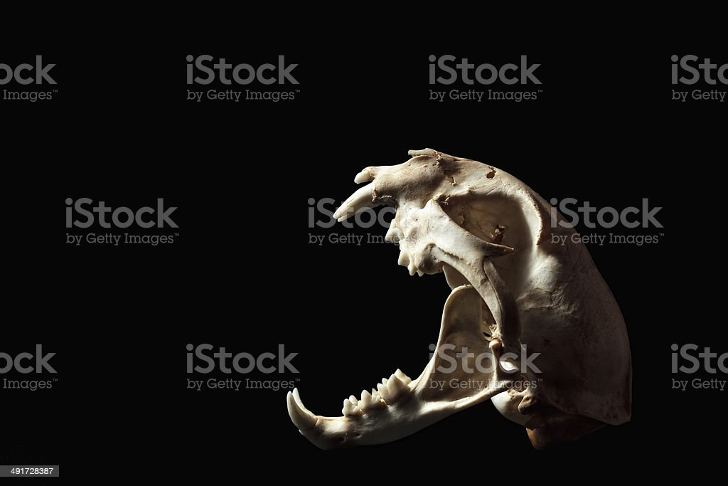 Bobcat Skull with open jaws stock photo