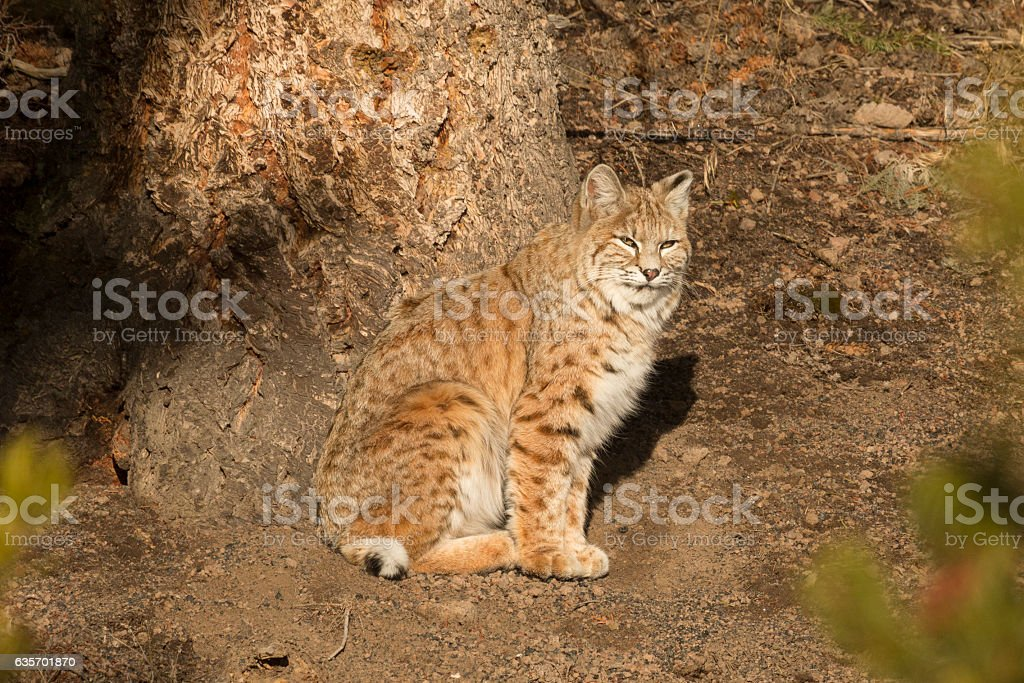 Bobcat soaking up some winter sun in Yellowstone National Park. royalty-free stock photo