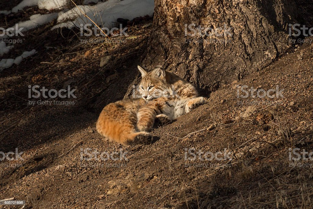Bobcat soaking up some winter sun in Yellowstone National Park, royalty-free stock photo