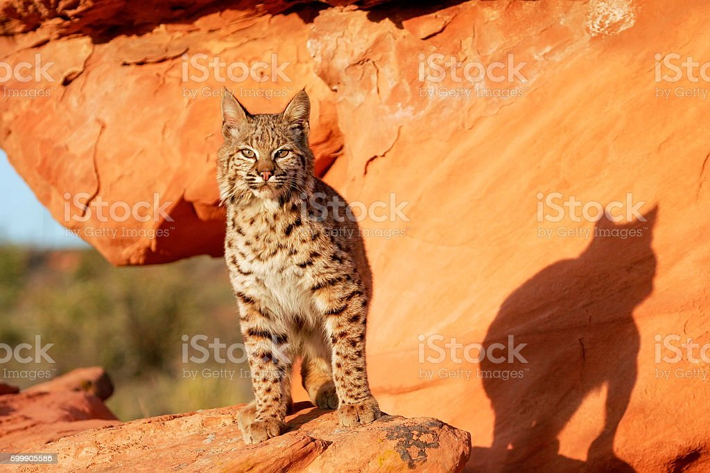 Bobcat standing on red rocks stock photo