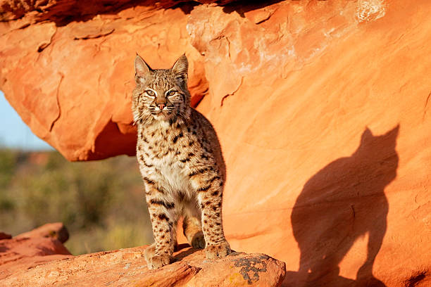 Bobcat standing on red rocks – Foto
