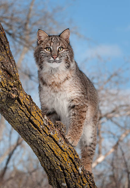 Bobcat (Lynx rufus) Stands on Branch stock photo