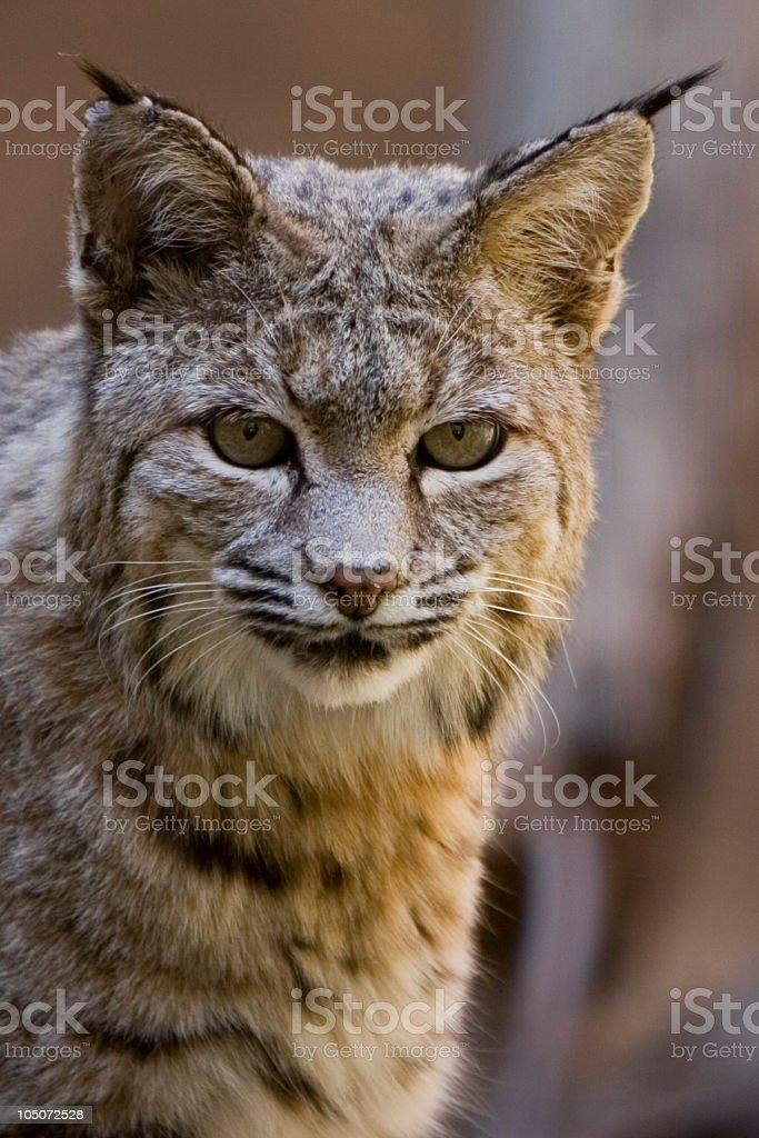 Bobcat Stare royalty-free stock photo