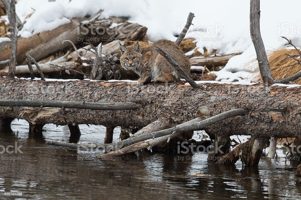 Bobcat waiting for dinner to float by. royalty-free stock photo