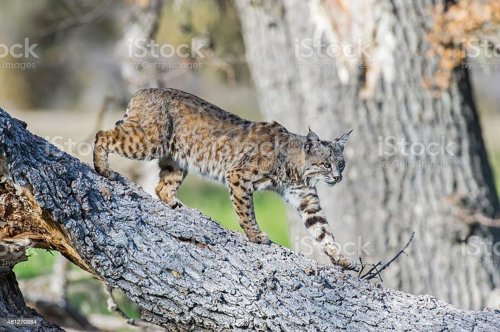 Bobcat walking down Oak trunk stock photo