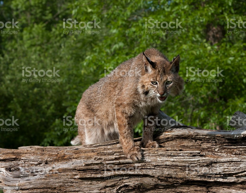 Bobcat Watching Prey stock photo