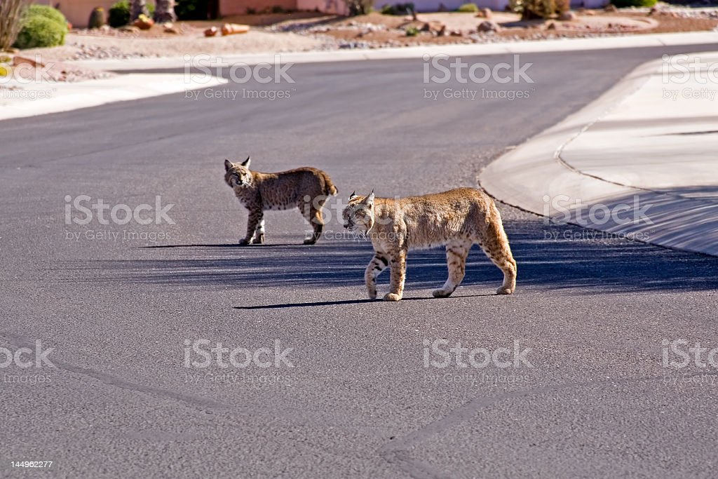 Bobcats on city street stock photo
