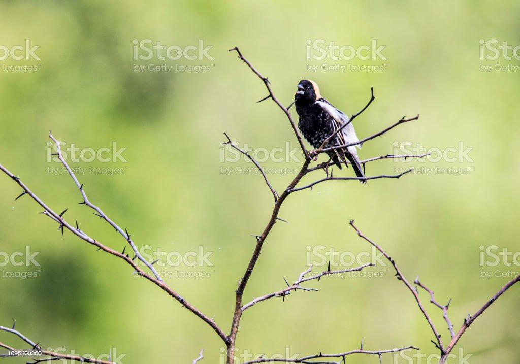 Bobolink Bird perches on a branch against a green background. stock photo