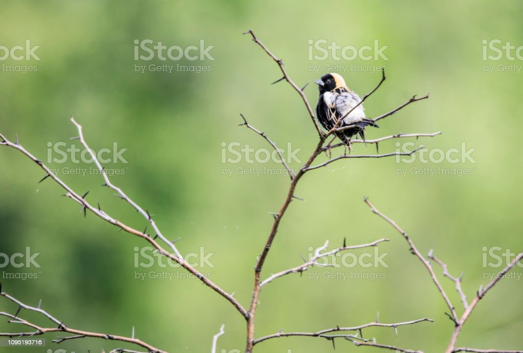 Bobolink Bird sits in a brush and sings with a green background. stock photo
