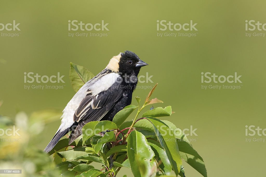 Bobolink Blackbird stock photo