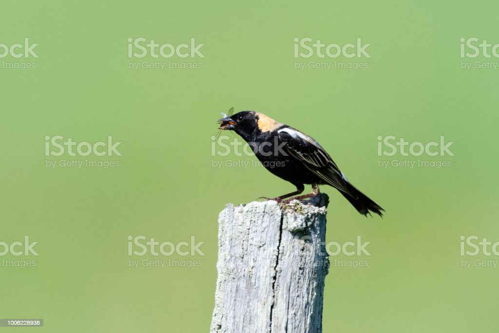 Bobolink, Dolichonyx oryzivorus, male bird perching and eating insect stock photo