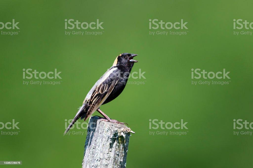 Bobolink, Dolichonyx oryzivorus, male bird perching and singing stock photo