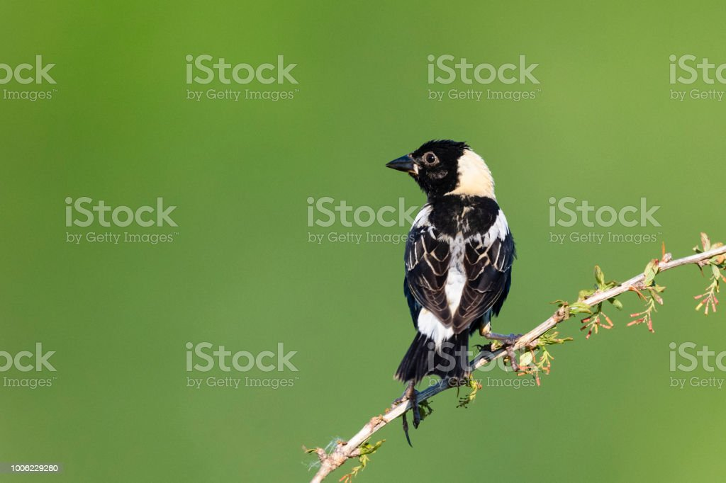 Bobolink, Dolichonyx oryzivorus, male bird perching stock photo
