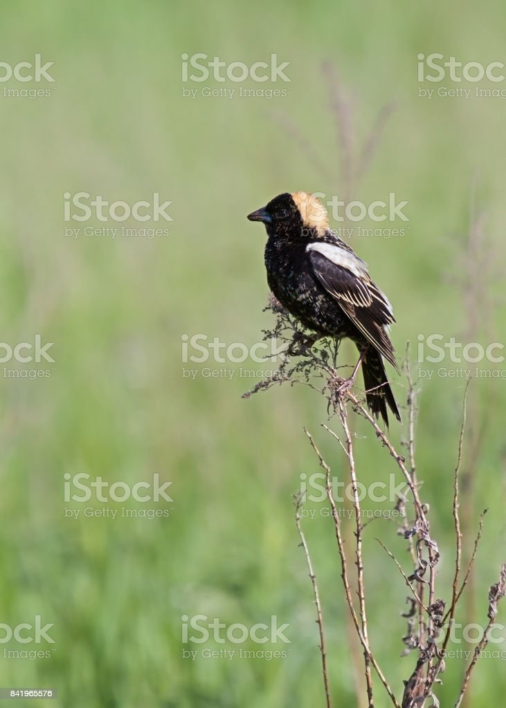 Bobolink in a Straw Colored Hat stock photo