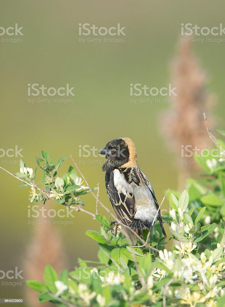 Bobolink - Royalty-free Animal Wildlife Stock Photo