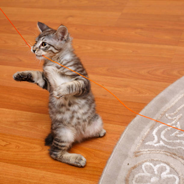 Bobtail cat stands on its hind legs. Kuril Bobtail kitten stands on its hind legs. Thoroughbred cat. Cute and funny kitten. Pet. bobtail squid stock pictures, royalty-free photos & images