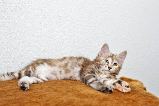Bobtail gray kitten resting. Kuril Bobtail kitten resting after a game. Thoroughbred cat. Cute and funny kitten. Pet. bobtail squid stock pictures, royalty-free photos & images