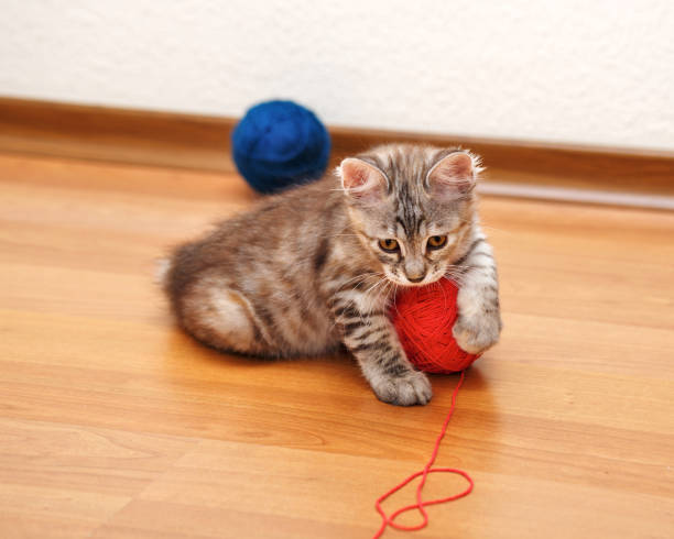 Bobtail kitten caught a ball of yarn. Kuril Bobtail kitten Gray caught a ball of yarn. Thoroughbred cat. Cute and funny kitten. Pet. bobtail squid stock pictures, royalty-free photos & images