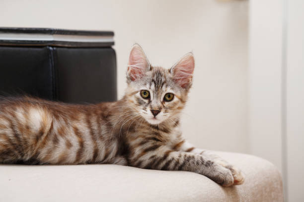 Bobtail kitten looking into camera. Kuril Bobtail gray kitten looking into the camera. Thoroughbred cat. Cute and funny kitten. Pet. bobtail squid stock pictures, royalty-free photos & images
