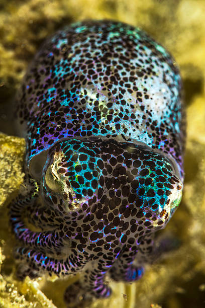 Bobtail A bobtail squit in Komodo bobtail squid stock pictures, royalty-free photos & images