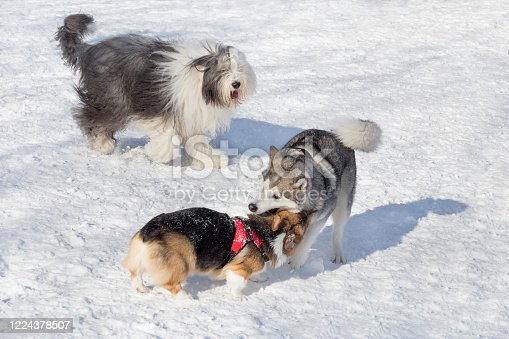 Bobtail sheepdog, pembroke welsh corgi puppy and siberian husky are playing in the winter park. Pet animals. Purebred dog.